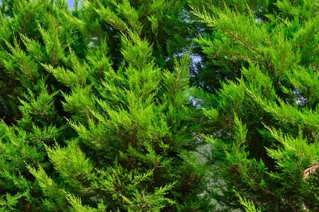 Green branches of thuja against the blue sky Stockfoto - 128527464