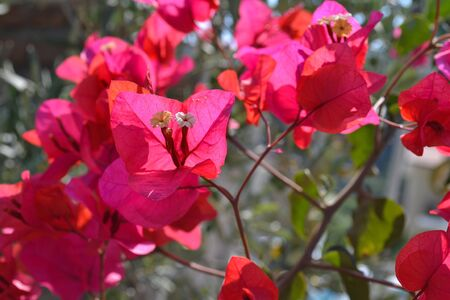 Beautiful pink bougainvillea flowers closeup. Vivid colors and green leaf background.