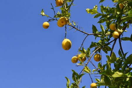 Close up of Lemons hanging from a tree in a lemon grove
