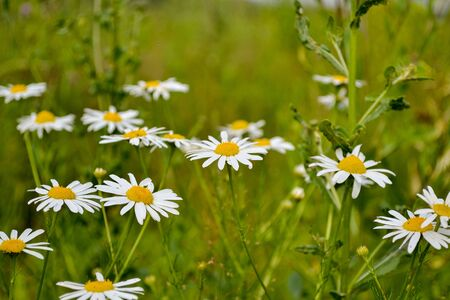 Group of blooming daisies on a green meadow. Garden background. Stok Fotoğraf