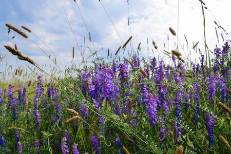 Wild elegant plants and herbs of the forest meadow. Grass mouse peas with blue purple flowers. Stock Photo - 128953697