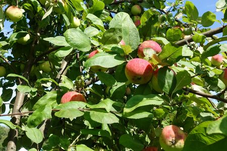 Red apples on a branch of an apple tree. Harvest concept