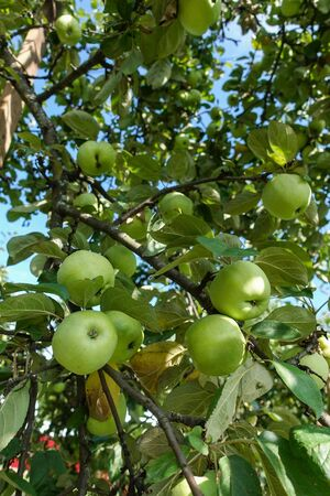Closeup of green apples on a branch in an orchard