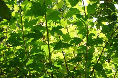 Beautiful green background of leaves lit outside by the sun.