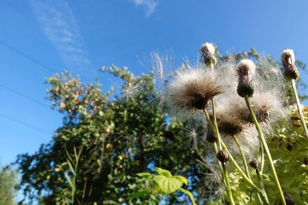 Fluffy, white prickly race against a blue sky Stock Photo