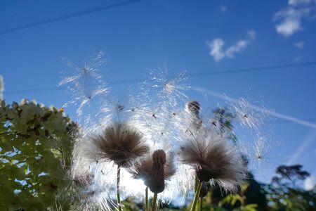 Fluffy, white prickly race against a blue sky Stok Fotoğraf