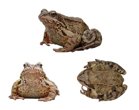 An ordinary water frog in three projections, isolated on a white background. Collection, set