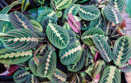 Exotic Maranta Leuconeura Fascinator plant leaves Beautiful color floral background