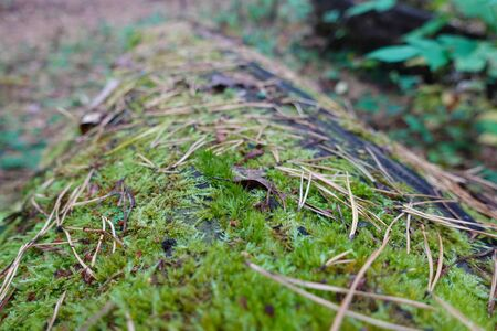 An old log in the forest covered with green moss. Close-up 写真素材