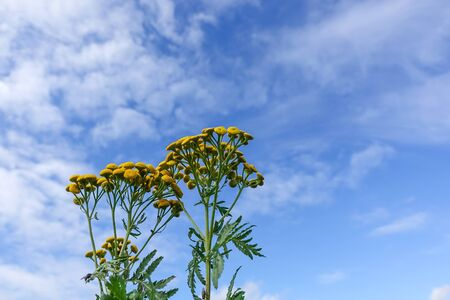 Yellow round flowers tansy on a sunny day against the blue sky Archivio Fotografico - 131400701