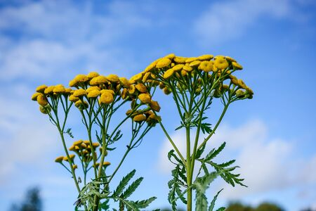 Yellow round flowers tansy on a sunny day against the blue sky 스톡 콘텐츠
