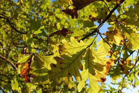 Beautiful autumn background. Colorful autumn oak leaves.