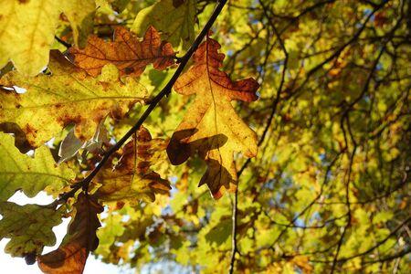 Beautiful autumn background. Colorful autumn oak leaves.