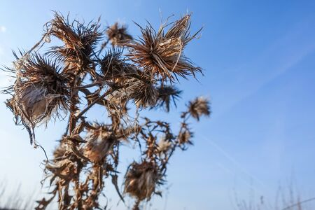 Dry prickly grass on a background of blue sky