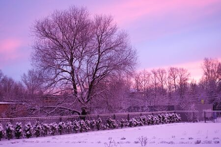Winter dawn. An old, leafless tree looming against a beautiful multi-colored sky. Pink with purple