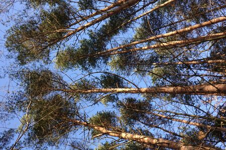 Tops of the pines look at the sky. View from below. The tops of the trees from the ground. Pine trees against the blue sky. Stok Fotoğraf