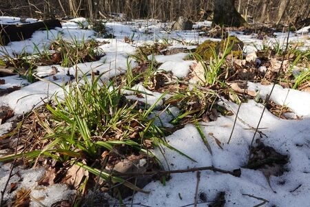 Spring concept. Snow is melting. Through the snow you can see the earth and green grass