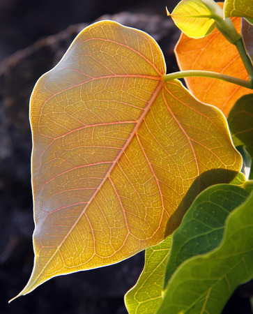 pipal: Close up of Pipal leafs