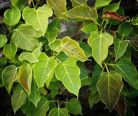 pipal: Close up of Pipal leafs.