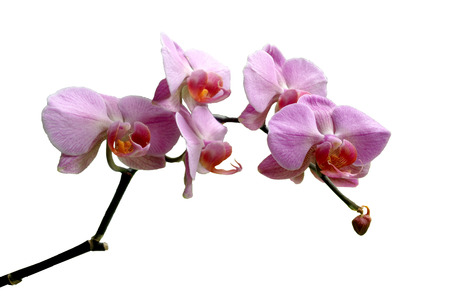 Orchid Thailand photo
