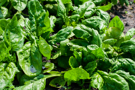 spinage: Very helpful and nice big juicy spinach leaves