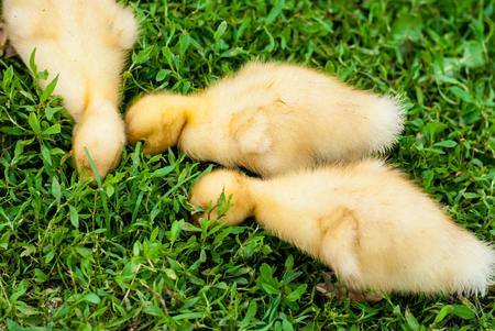 duckling: Three duckling looking for food