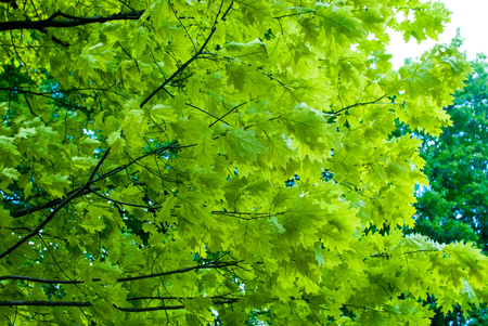 fagaceae: oak leaves on the branch in the park