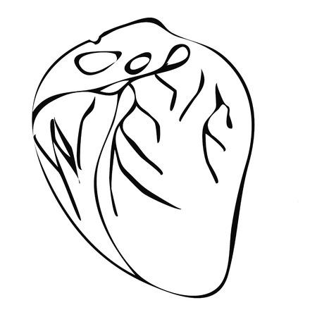 vas: Illustration of the human heart healthy