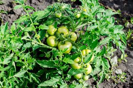 shrubs: Green unripe juicy tomatoes