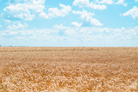 Boundless field of wheat with yellow cones against the blue sky with white clouds Stock Photo
