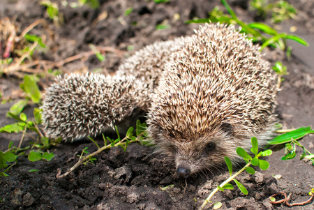 urge: Hedgehogs Family: Mother and children