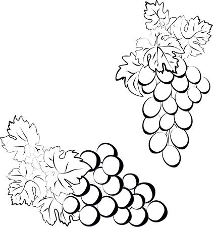 Vector set of bunches of grapes. Two bunches of grapes made in the form of a sketch. Illustration