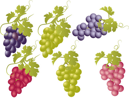 bunches: Vector set of bunches of grapes.