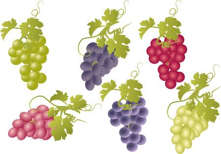 uvas: Vector conjunto de racimos de uvas.