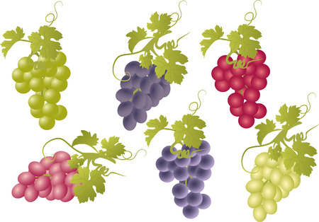 grape juice: Vector set of bunches of grapes.