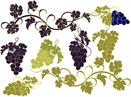 wine grape: Vector set of bunches of grapes.