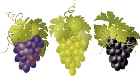 hojas vid: Vector conjunto de racimos de uvas.