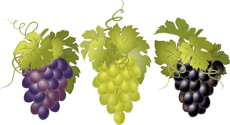 grapes on vine: Vector set of bunches of grapes.