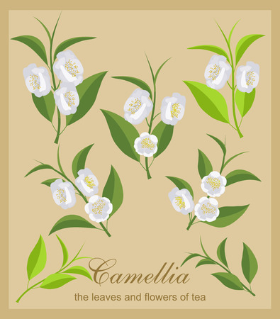 Set camellia flowers. Isolated flowers and tea leaves. Illustration