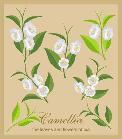 camellia: Set camellia flowers. Isolated flowers and tea leaves. Illustration