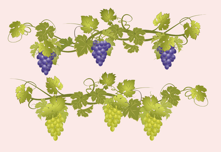 bunches: Vines with bunches of grapes in vintage style.