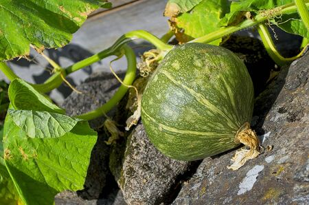 Small green pumpkin on a sunny summer afternoon Stock Photo