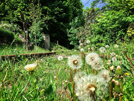 Abandoned railway with dandelions and green grass. Idillyc scene