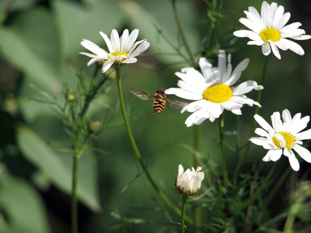gadfly:  White Chamomiles and gadfly on the green background