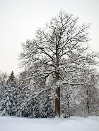 Big winter oak