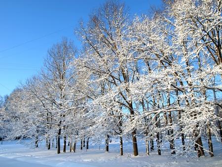 Winter oaks         photo