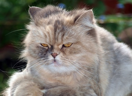 Pretty cat with aggressive look photo