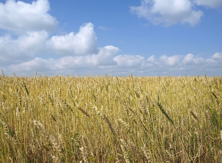Wheat field with blue sky and clouds background        Stock Photo - 10461314