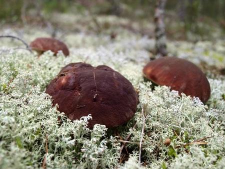 Luxury mushrooms in the white moss      photo