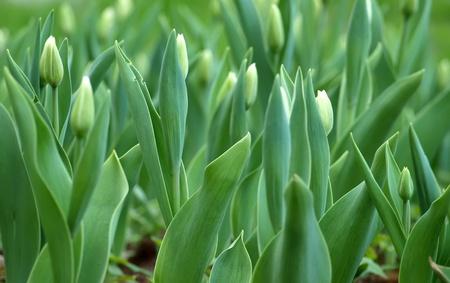 Tulips background     photo
